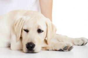 гистиоцитома у собак