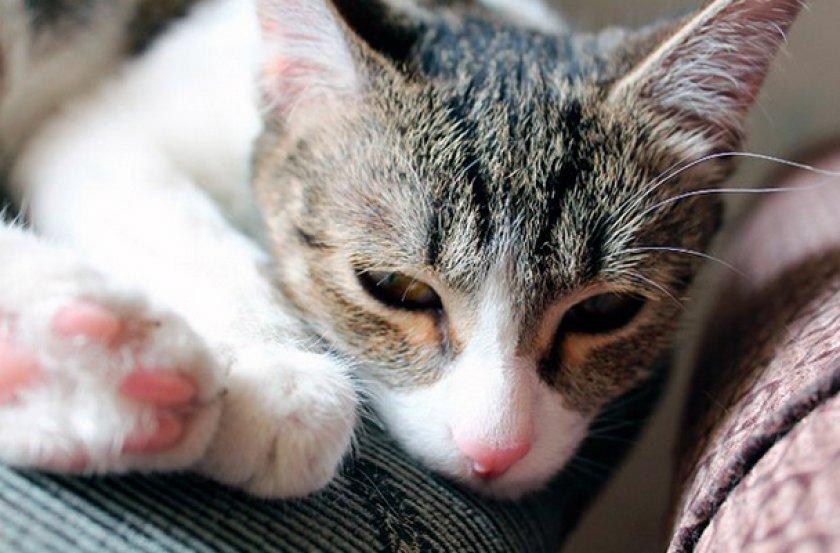 Лейкоз у кошки