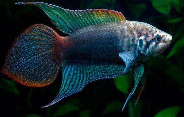 Содержание макроподов в аквариуме, уход и размножение