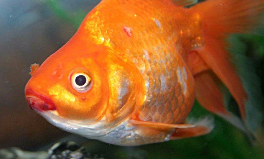 золотая рыбка больная