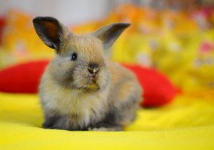 Разведение декоративных кроликов в домашних условиях для начинающих 464