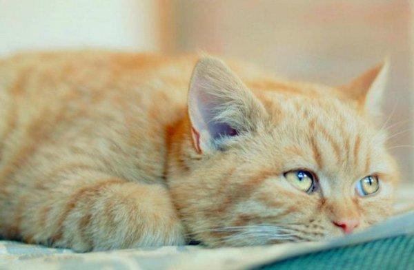 Дипилидиоз у кошек – заражение огуречным цепнем