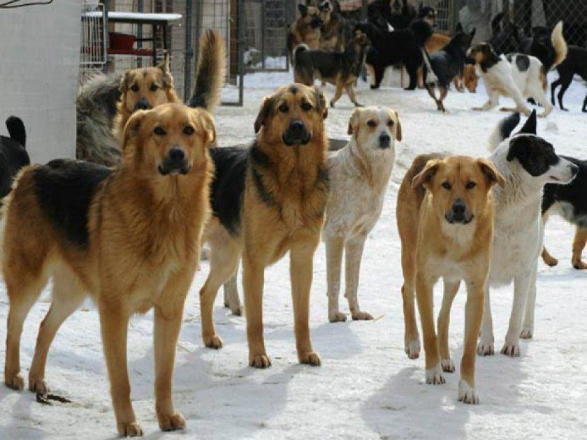 Стаи бездомных собак