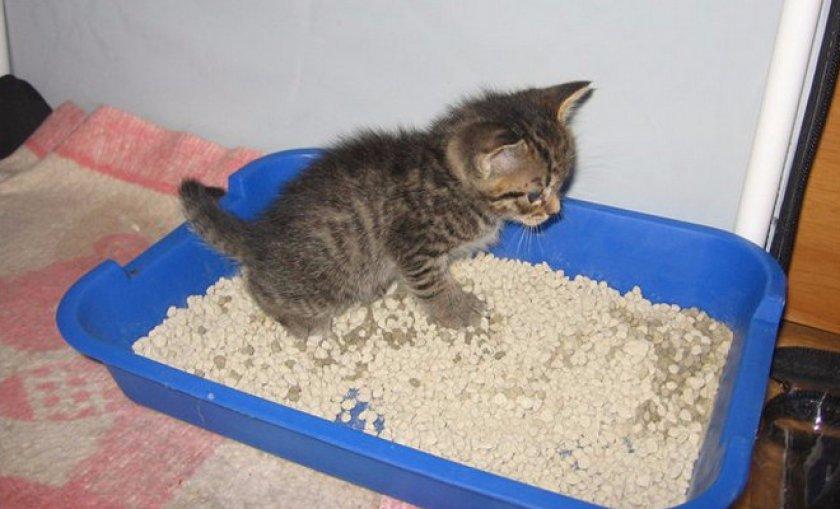 Как приучить кошку к лотку быстро