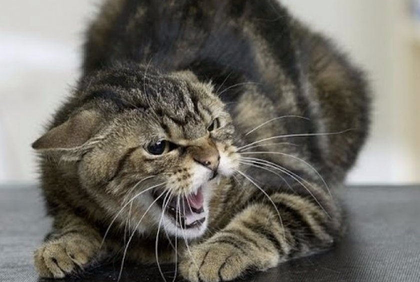 Бешенство кошки