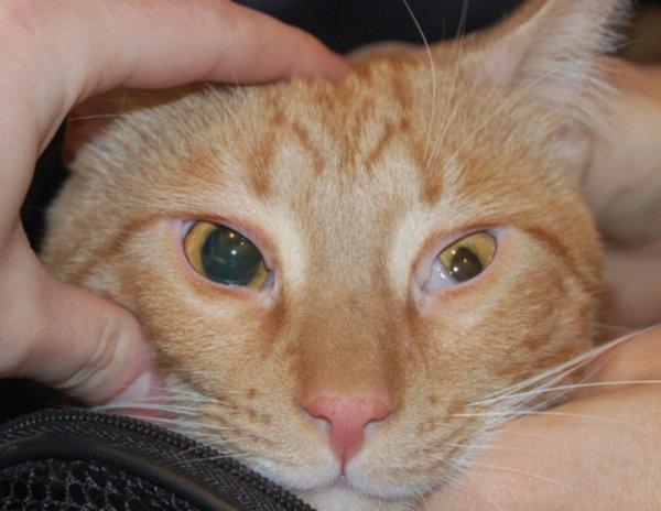 Почему у кота не убирается третье веко. Внутреннее веко у кошек. Как проводить процедуры по лечению глаз кошки в домашних условиях
