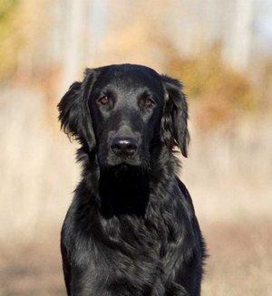 собака ретривер черный