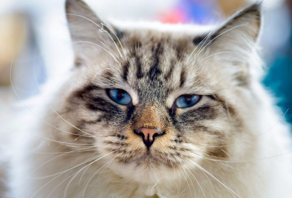 Рагамаффин - описание породы и характера кошки. Фото котят и цена кошек рагамаффин.