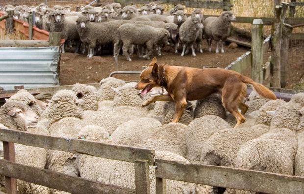 смесь кукурузы породы собак назначение пастух для скота видео описание компании тулы