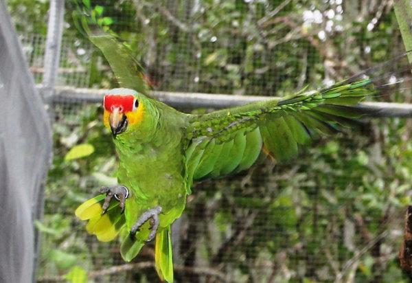 Попугай амазон: цена, содержание и уход, кормление