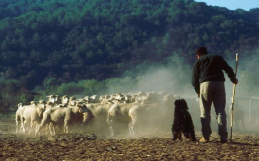 Португальская овчарка