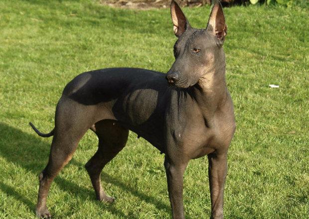 Ксолоитцкуинтли  шолоитцкуинтли  какая она мексиканская собака голая лысая или хохлатая