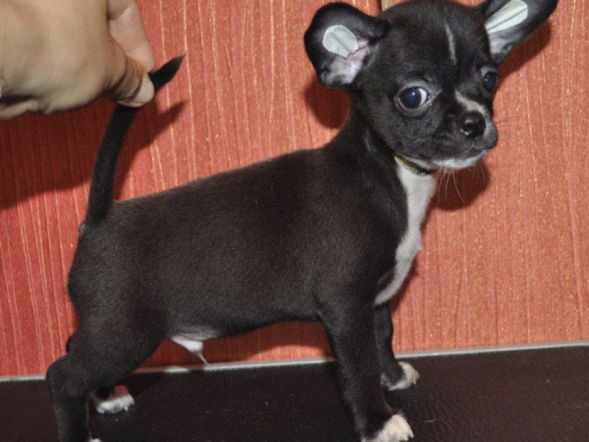Собака возрастом до 6 месяцев