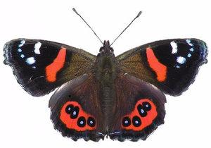 Откуда происходит название «адмирал» у бабочек?
