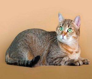 Кельтский короткошерстный кот