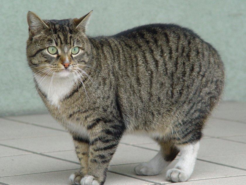Европейская кошка