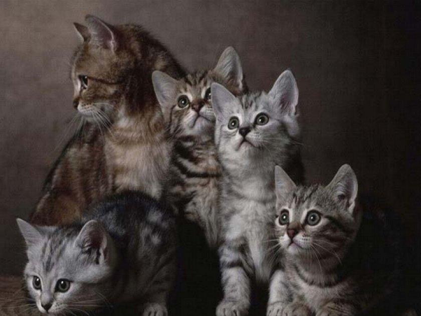 Европейские кошки