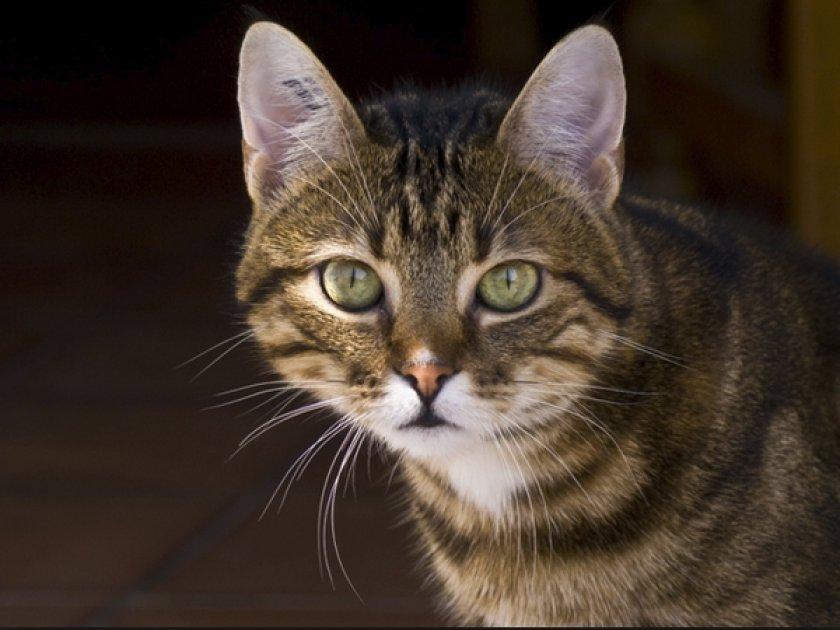 европейская короткошерстная кошка картинка раз
