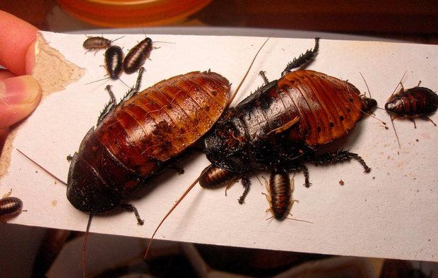Уход и содержание мадагаскарских тараканов