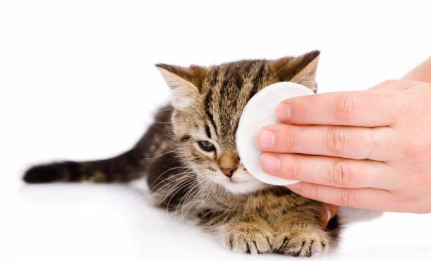 Что делать, если у кошки чумка (панлейкопения)