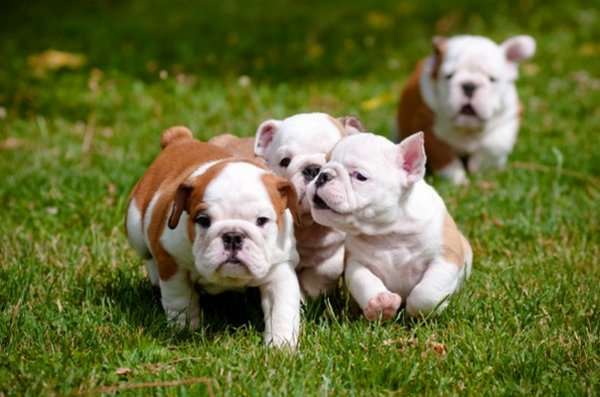 Miniature english bulldogs