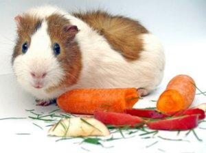Чем кормить морских свинок в домашних условиях можно 63