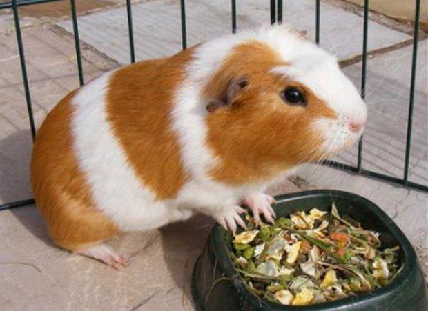 Чем кормить морских свинок в домашних условиях можно 84