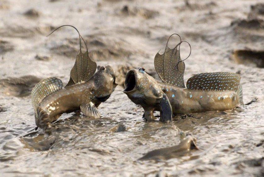 Рыба илистый прыгун