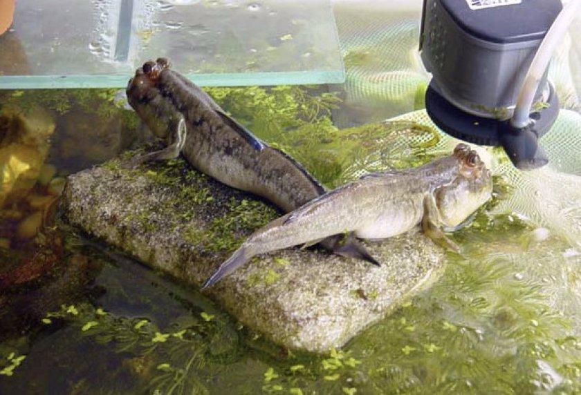 Прыгуны в аквариуме