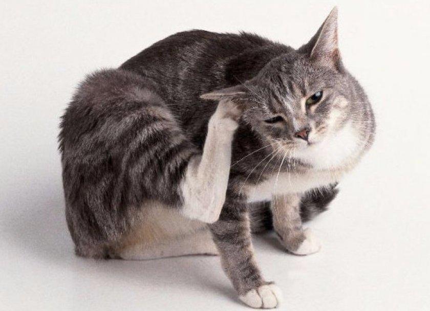 Кот чешется