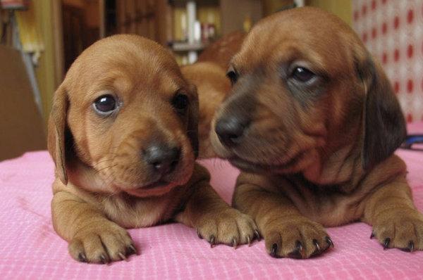 Чем кормить щенков таксы: основы правильного ухода и питания || Вс о щенках таксы от подготовки к вязке до ухода за новорожднными