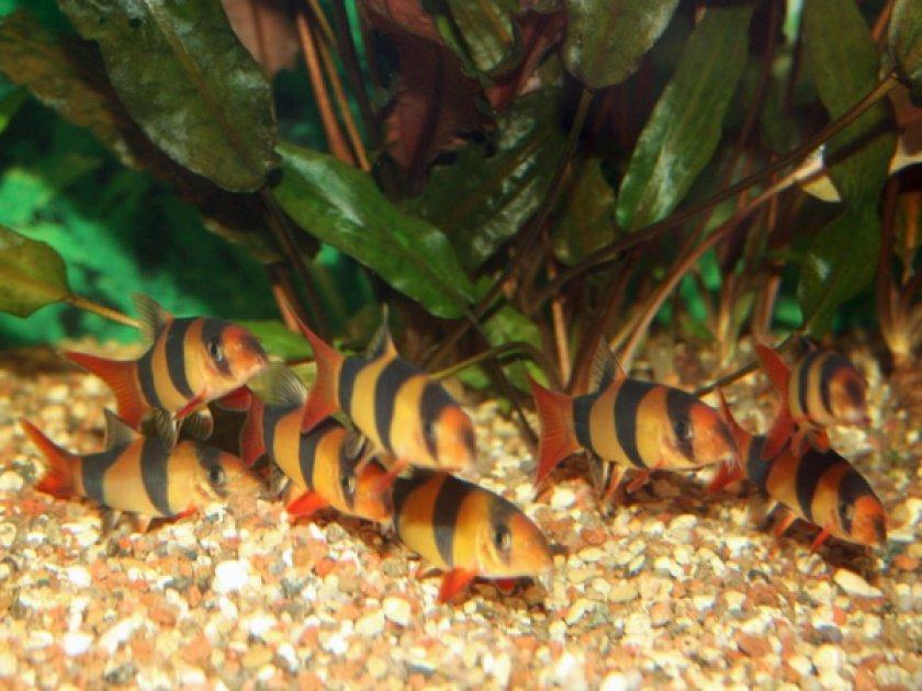 Рыбки аквариумные боция клоун