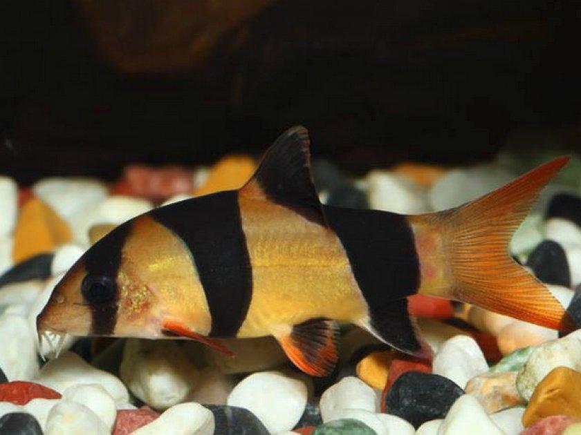 Рыбка аквариумная боция клоун