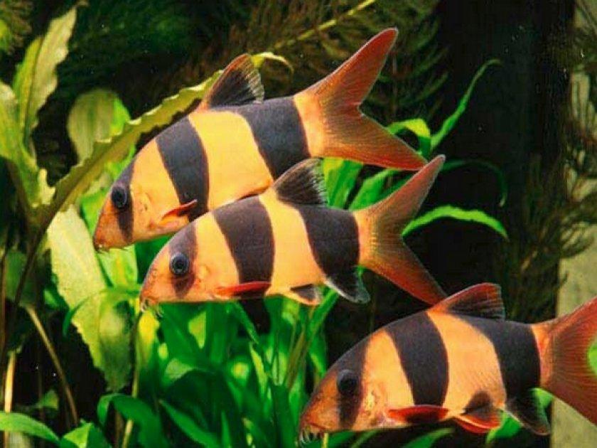 Рыбка аквариумная боция клоун (макраканта)