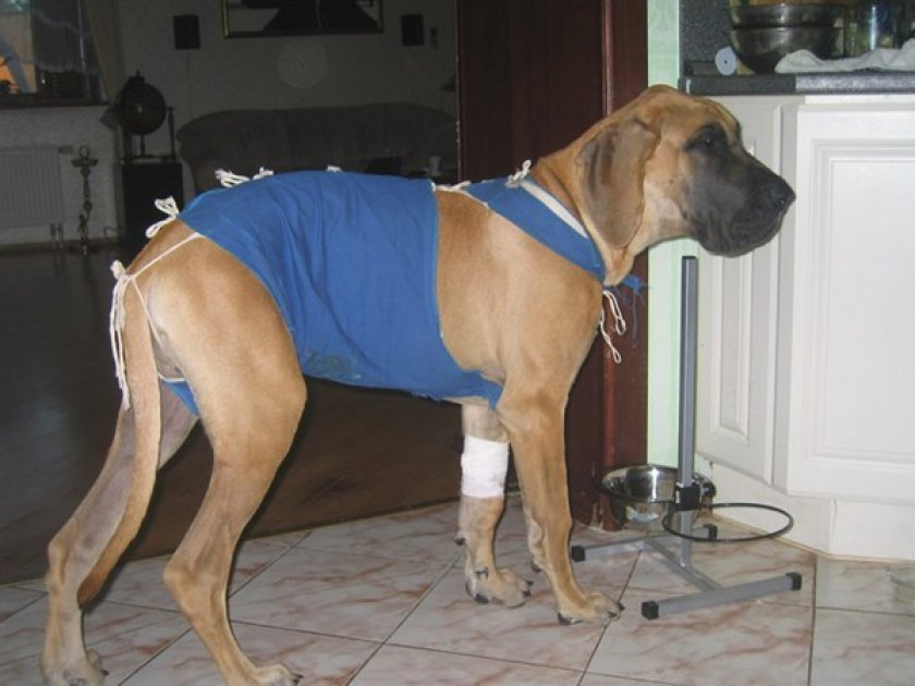 Лечения мастита у собаки