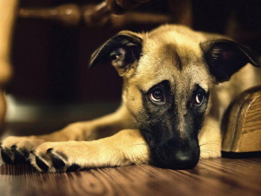 Сепсис у собаки