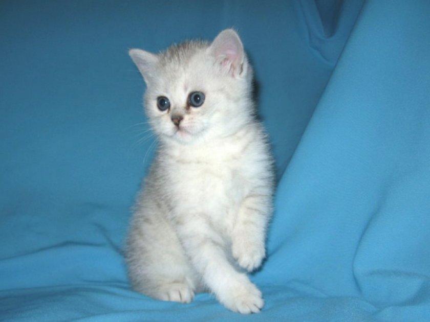 Котенок «шотландец»