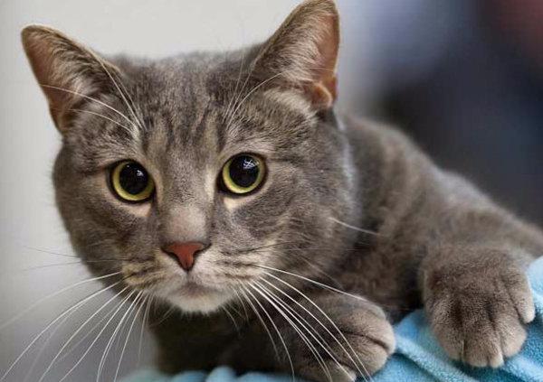 Лишай у кошки как выглядит и чем лечить