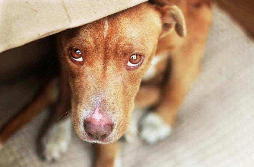 Перитонит у собак