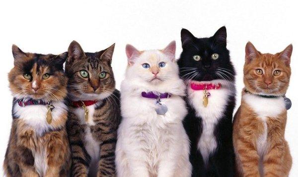 Поиски кошки голубых кровей или как определить породу