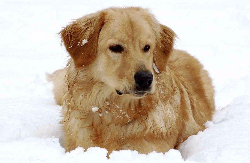Собака породы Ховаварт