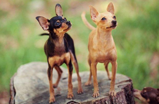 породы собак с фотографиями средних размеров гладкошерстные