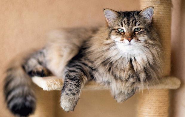 Какая порода кошек самая ласковая и ручная для взрослых и детей