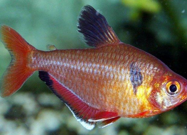 Аквариумные мирные рыбки