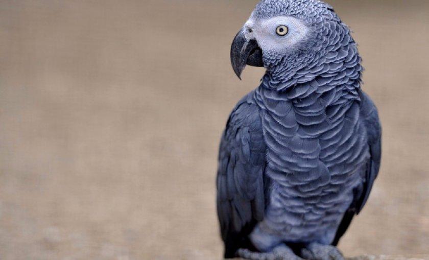 Как ухаживать за попугаями Жако (серый попугай)