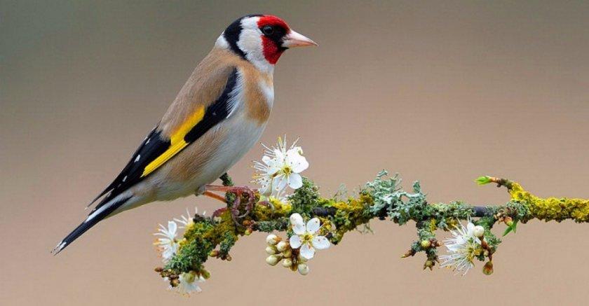 Птица щегол