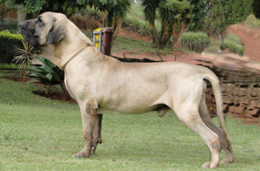 Бразильский фила
