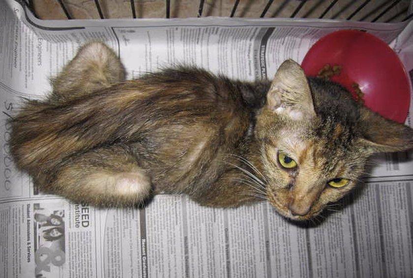 Панкреатит у кошек