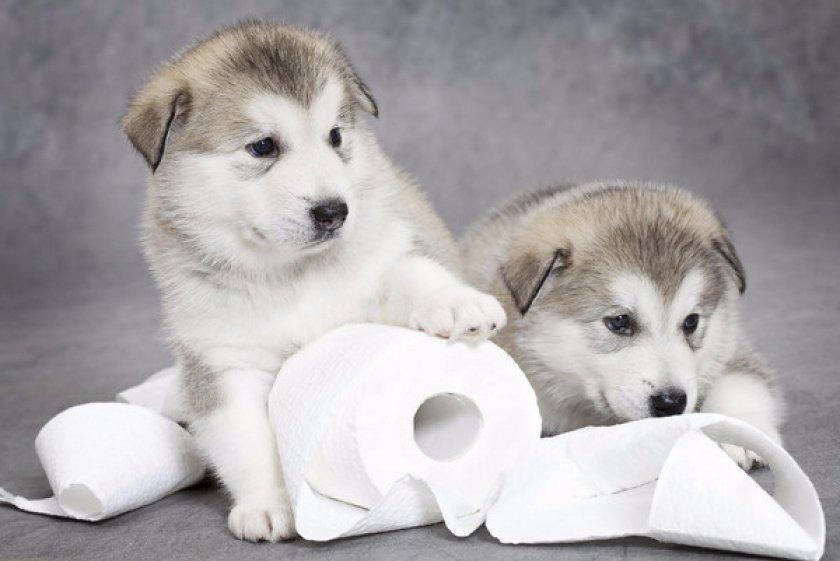Как приучить щенка к туалету