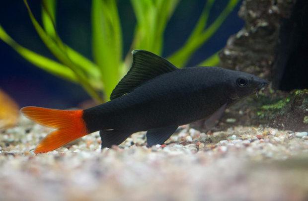 Содержание рыбок лабео биколор в аквариуме
